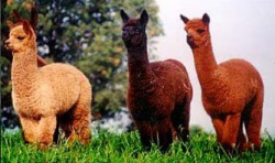 Whirlwind Ranch - Alpaca Ranch